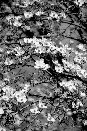 Dogwood Branch 2-Jeff Pica-Photographic Print