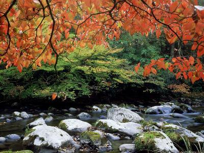 Dogwood in Fall Colour Over Middle Prong of Little River, USA-Willard Clay-Photographic Print