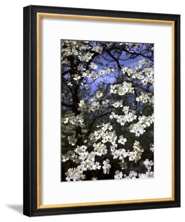 Dogwood Tree Covered in White Flowers in the Ozarks-Andreas Feininger-Framed Premium Photographic Print