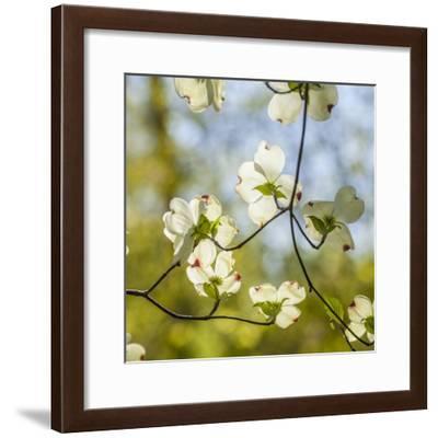 Dogwood Tree Flowers-Richard T. Nowitz-Framed Photographic Print