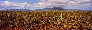 Dole Pineapple Farm, North Shore, Oahu, Hawaii, USA