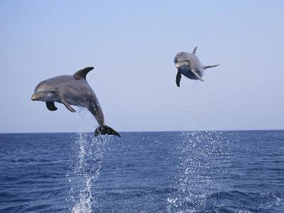 Dolphin Breaching the Oceans Surface-DLILLC-Photographic Print