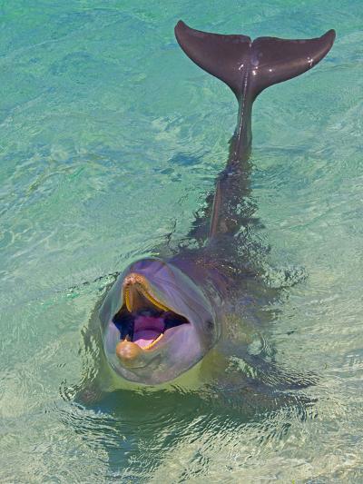 Dolphin in the Ocean, Roatan Island, Honduras-Keren Su-Photographic Print