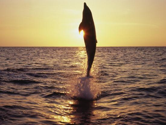 Dolphin Jumping from Water-Stuart Westmorland-Photographic Print