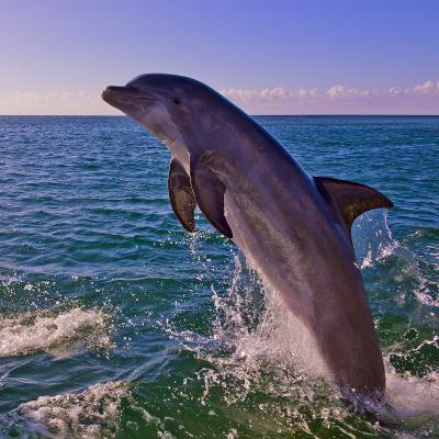 Dolphin Leaping from Sea, Roatan Island, Honduras-Keren Su-Photographic Print