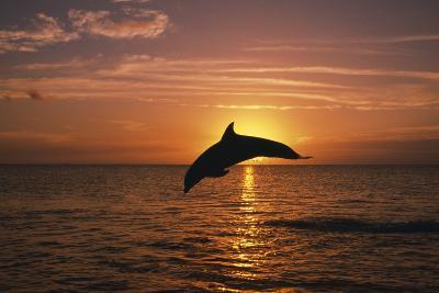 Dolphin--Photographic Print