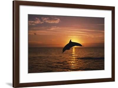 Dolphin--Framed Photographic Print