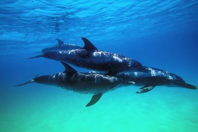Dolphins--Photographic Print