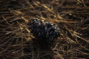 Famous Pinehurst Pinecones by Dom Furore