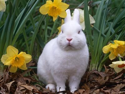 Domestic Albino Netherland Dwarf Rabbit, Amongst Daffodils, USA-Lynn M^ Stone-Photographic Print