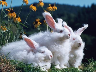 Domestic Angora Rabbits-Reinhard-Photographic Print