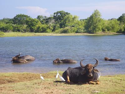 Domestic Asian Water Buffalo (Bubalus Bubalis) and Egrets, Yala National Park, Sri Lanka, Asia-Peter Barritt-Photographic Print