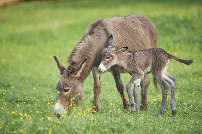 https://imgc.artprintimages.com/img/print/domestic-ass-equus-asinus-asinus-mare-foal-meadow-at-the-side-is-standing_u-l-q11vawp0.jpg?p=0
