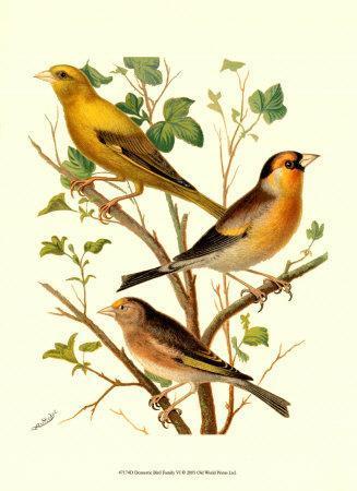 Domestic Bird Family VI-W^ Rutledge-Art Print