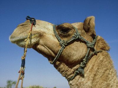 Domestic Camel, Thar Desert, India-Paul Franklin-Photographic Print