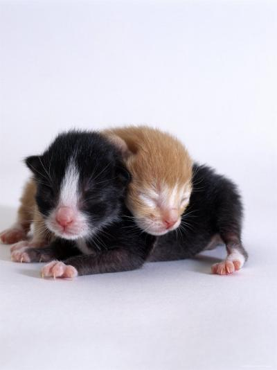 Domestic Cat, 1-Day Kittens Black-And-White and Ginger-Jane Burton-Photographic Print