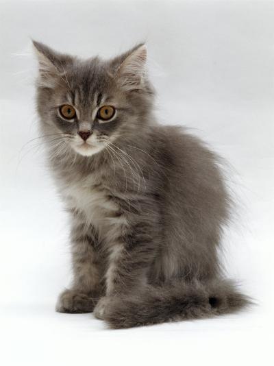 Domestic Cat, 10-Week, Grey Tabby Persian-Cross Kitten-Jane Burton-Photographic Print
