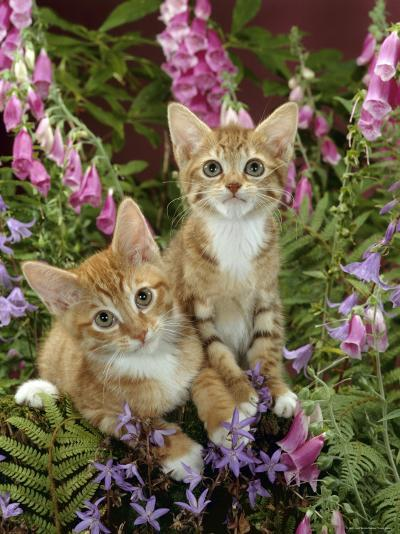 Domestic Cat, 10-Week, Red Male and Ginger Female Spotted Tabbies Among Foxgloves and Bellflowers-Jane Burton-Photographic Print