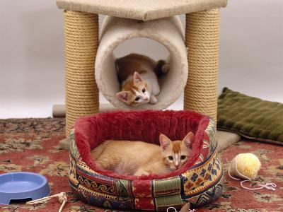 Domestic Cat, 12-Week Kittens Settled into New Home, with Bed and Leisure / Play Centre and Toys-Jane Burton-Photographic Print