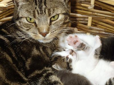 Domestic Cat, 2-Week Tabby and White Kitten Plays with Her Mother's Whiskers in Basket-Jane Burton-Photographic Print