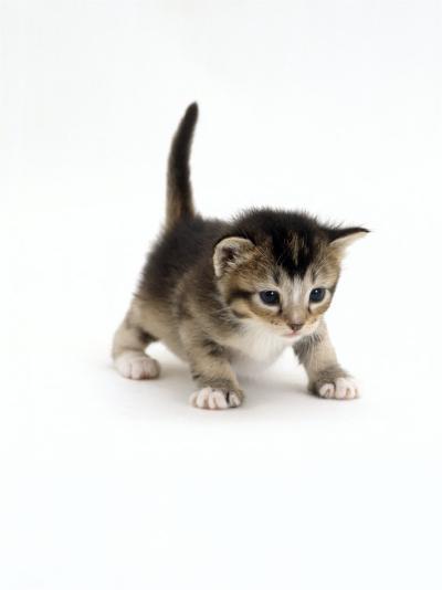 Domestic Cat, 3-Week Ticked-Tabby Kitten-Jane Burton-Photographic Print