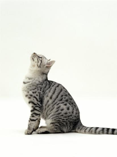 Domestic Cat, 5-Month Silver Spotted Shorthair Male, Sitting Looking Up, Back Hunched-Jane Burton-Photographic Print