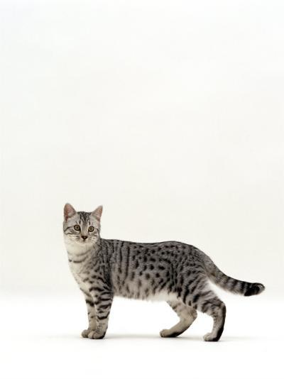 Domestic Cat, 5-Month Silver Spotted Shorthair Male, Standing with Tail Relaxed-Jane Burton-Photographic Print