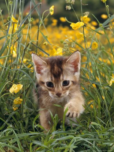 Domestic Cat, 6-Week, Abyssinian Kitten Walking in Grass with Buttercups-Jane Burton-Photographic Print