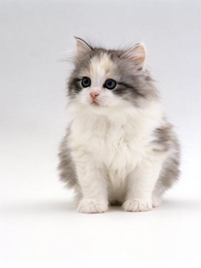 Domestic Cat, 6-Week, Chinchilla-Cross Kitten-Jane Burton-Photographic Print