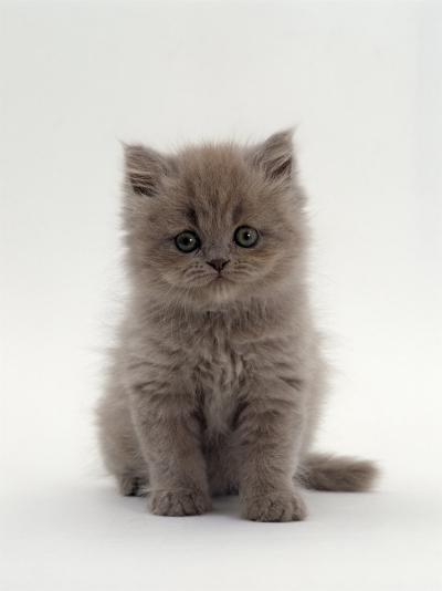 Domestic Cat, 7-Week, Male Blue Longhair Persian Kittens-Jane Burton-Photographic Print