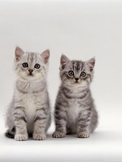 Domestic Cat, 7-Week, Two Silver Kittens-Jane Burton-Photographic Print
