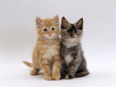 Domestic Cat, 8-Week, Fluffy Tortoiseshell and Ginger Kittens-Jane Burton-Photographic Print