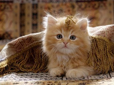 https://imgc.artprintimages.com/img/print/domestic-cat-8-week-portrait-of-red-persian-cross-male-kitten-playing-under-fringed-cover_u-l-q10o2rs0.jpg?p=0