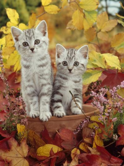 Domestic Cat, 8-Week, Silver Tabby Kittens Among Heather and Autumnal Leaves-Jane Burton-Photographic Print