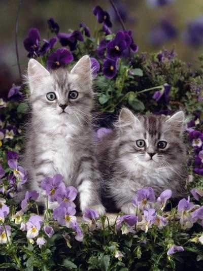 Domestic Cat, 8-Week, Two Fluffy Silver Tabby Kittens Amongst Winter-Flowering Pansies-Jane Burton-Photographic Print