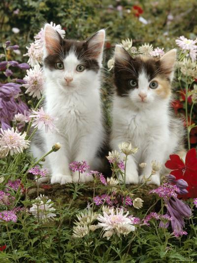 Domestic Cat, 9-Week, Black-And-White Kittens Among Flowers-Jane Burton-Photographic Print