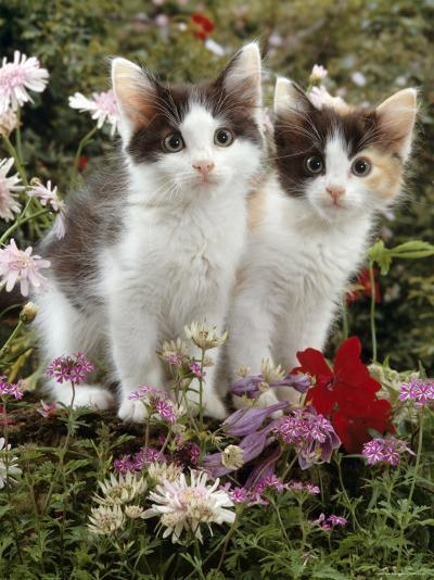 Domestic Cat, 9-Week, Black-And-White Kittens Among Flowers-Jane Burton-Photographic Print
