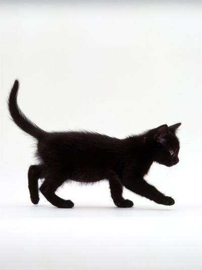 Domestic Cat, 9-Week Black Kitten Profile Walking-Jane Burton-Photographic Print