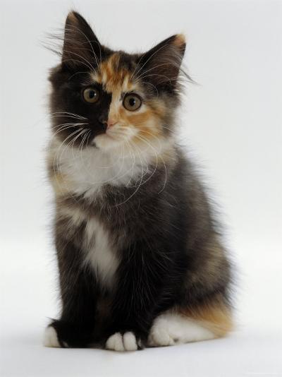 Domestic Cat, 9-Week Non-Pedigree Longhair Tortoiseshell-And-White Kitten-Jane Burton-Photographic Print