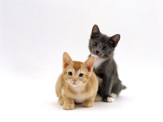 Domestic Cat, 9-Week, Red and Blue Kittens-Jane Burton-Photographic Print