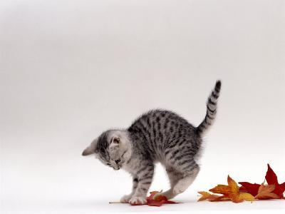 Domestic Cat, 9-Week, Silver Tabby Kitten Playing with Leaves-Jane Burton-Photographic Print