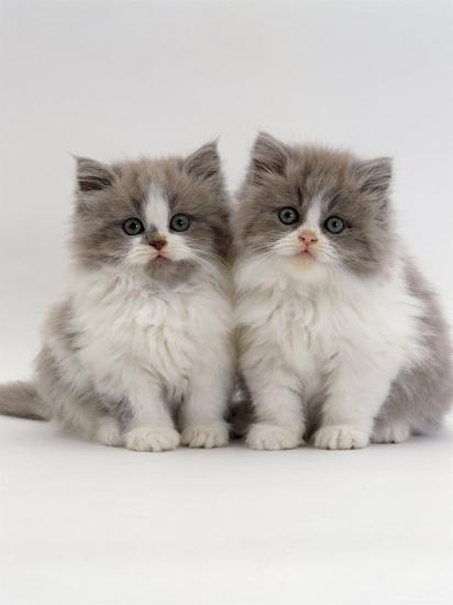 Domestic Cat, 9-Week, Two Persian Cross Lilac Bicolour Kittens-Jane Burton-Photographic Print