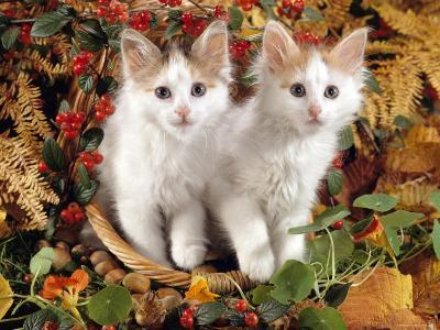 Domestic Cat, 9-Week, White-And-Tortoiseshell Sisters and in a Basket with Hazelnuts-Jane Burton-Photographic Print