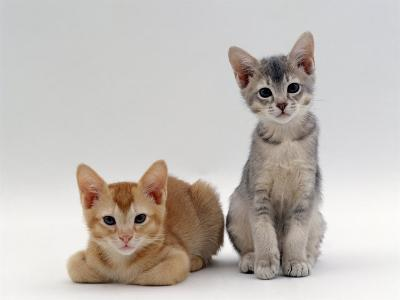 Domestic Cat, 9-Weeks Red and Blue-Cream Kittens, Lying and Sitting-Jane Burton-Photographic Print