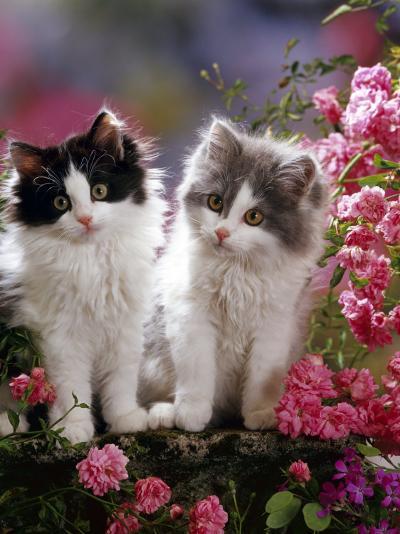 Domestic Cat, Black and Blue Bicolour Persian-Cross Kittens Among Pink Climbing Roses-Jane Burton-Photographic Print