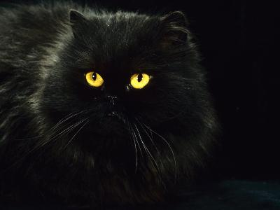 Domestic Cat, Black Persian Female at Night, Yellow Eyes Shining-Jane Burton-Photographic Print