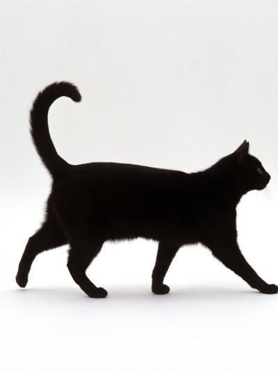 Domestic Cat, Black Short-Hair Male, Walking Profile-Jane Burton-Photographic Print