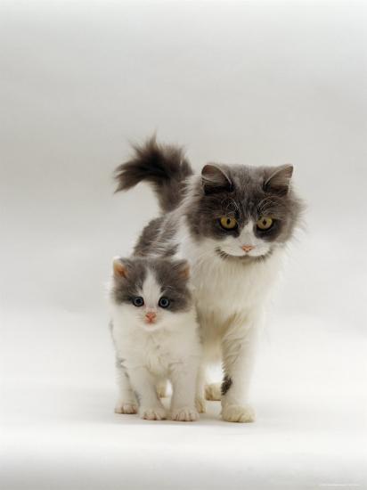 Domestic Cat, Blue Bicolour Persian-Cross Mother with Kitten-Jane Burton-Photographic Print