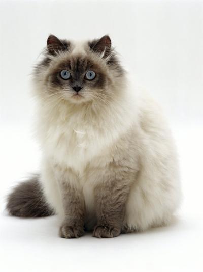 Domestic Cat, Blue Colour-Point Birman-Cross-Jane Burton-Photographic Print
