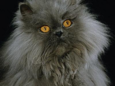 Domestic Cat, Blue Persian Longhair-Jane Burton-Photographic Print